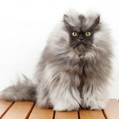 Chat Himalayen